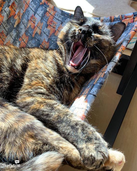 happy tortie cat in hammock