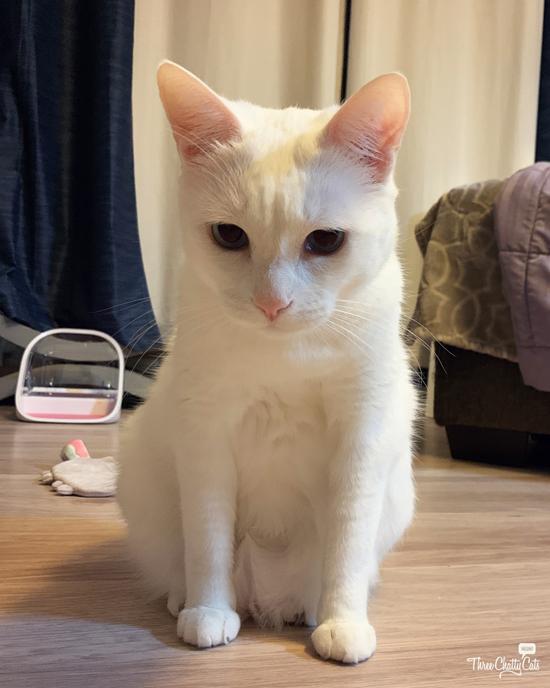 cute white cat