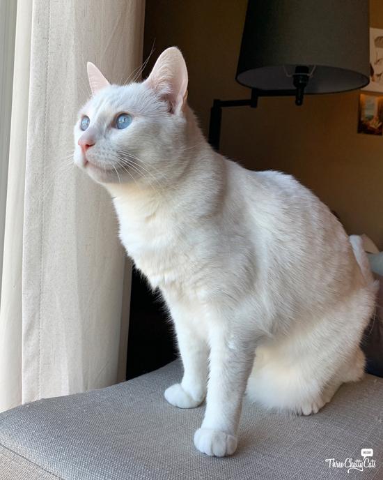 beautiful blue-eyed white cat