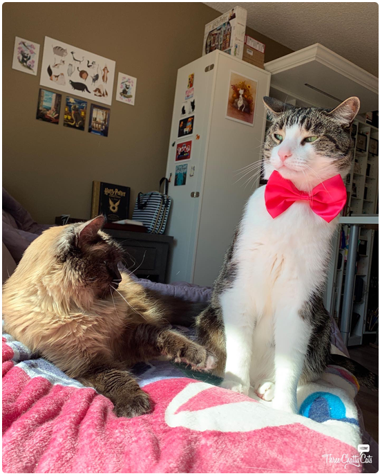 tabby cat in pink bow tie with friend