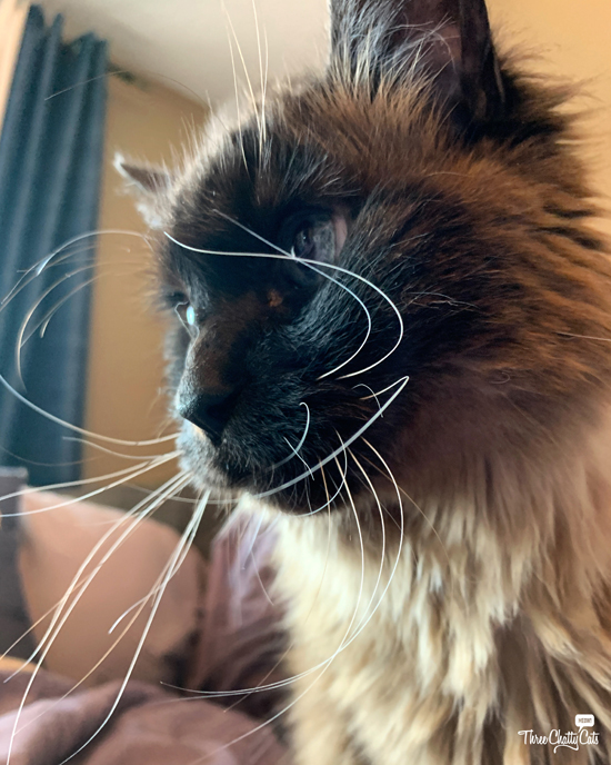 siamese cat with amazing whiskers