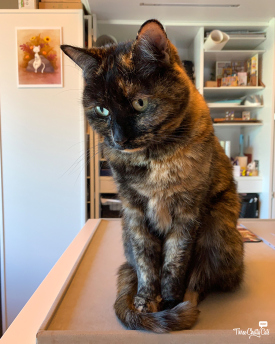 adorable tortie cat