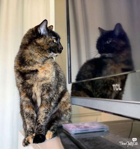 tortie cat watching herself in TV