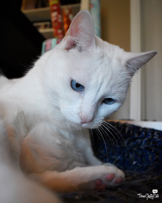goofy white cat with blue eyes