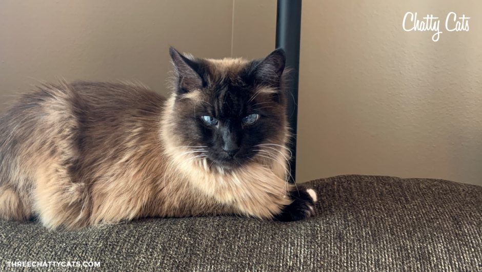 handsome siamese cat sitting on back of couch