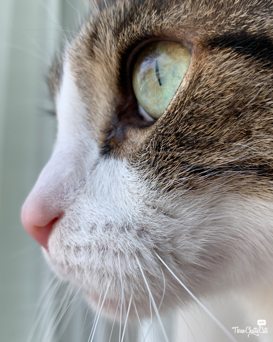 close-up of tabby cat looking out window