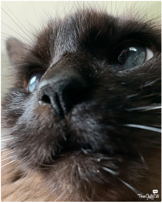 close up of siamese cat with blue eyes