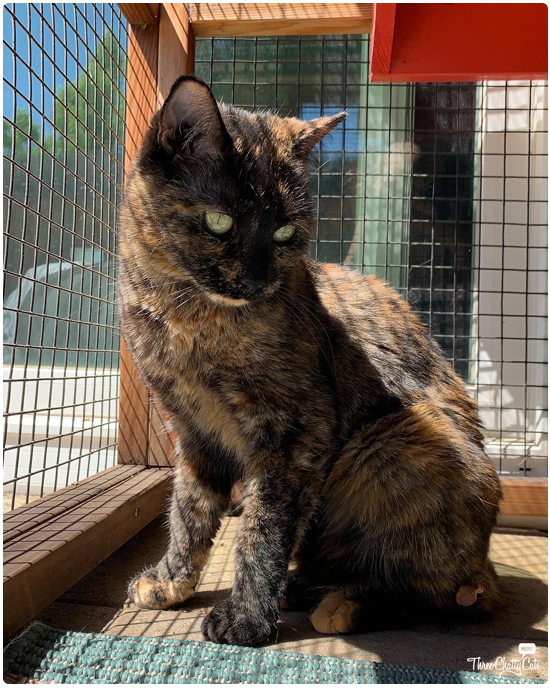 cute tortie cat in catio