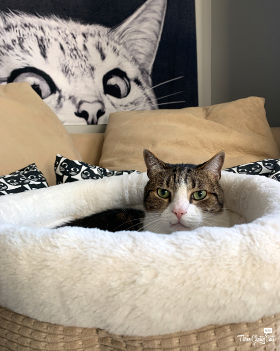 tabby cat in cat bed