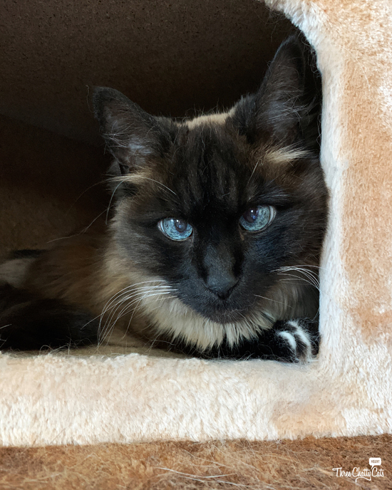 siamese cat with blue eyes in cat tree