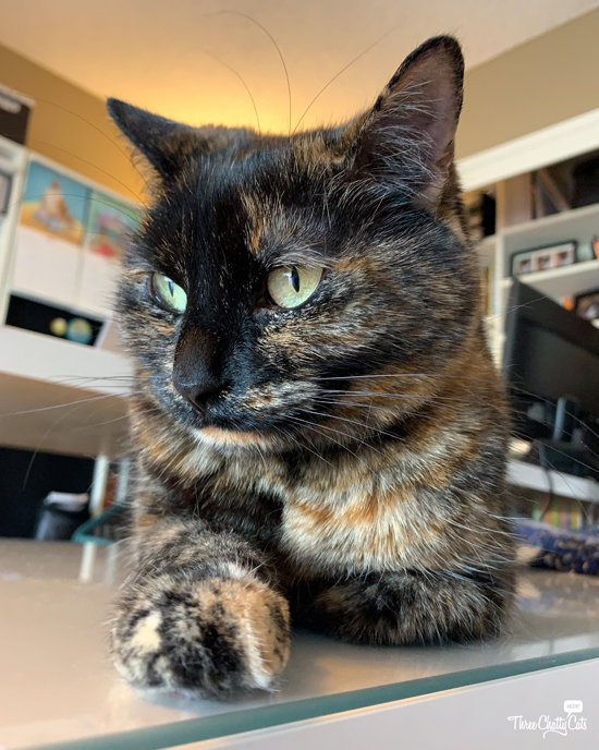 tortie cat looks upset