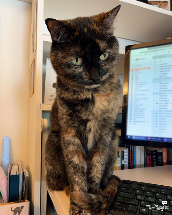 cute tortie office cat