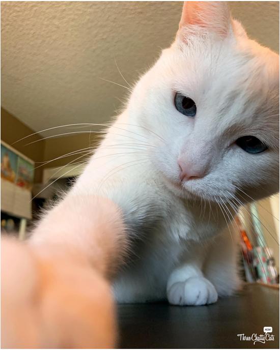 white cat grabbing item