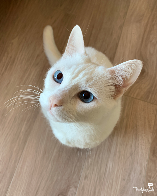 gorgeous white cat with blue eyes