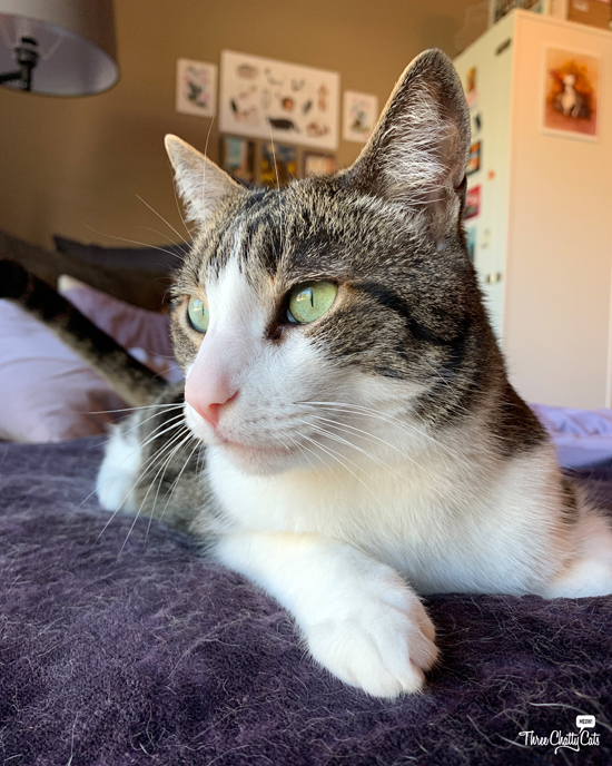 hadnsome tabby cat with green eyes