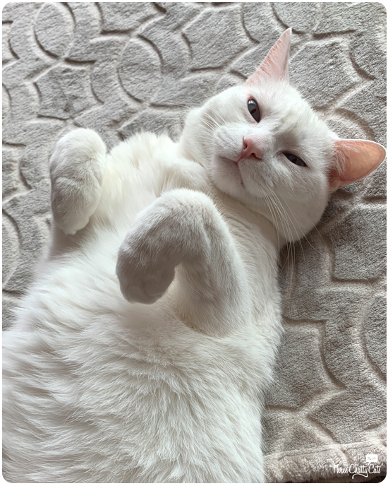 lounging white cat