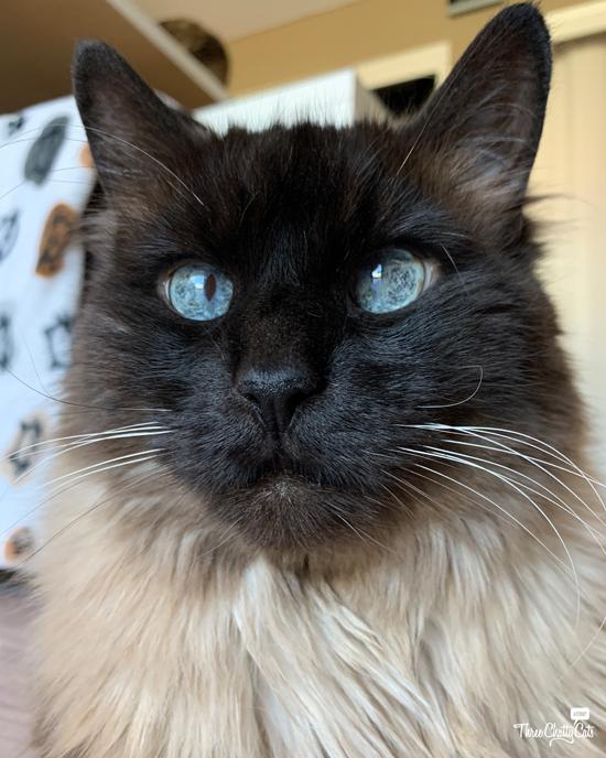 handsome cross-eyed siamese cat