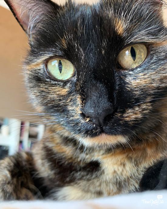 pretty tortie cat
