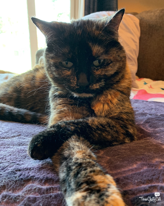 tortie cat with crossed legs