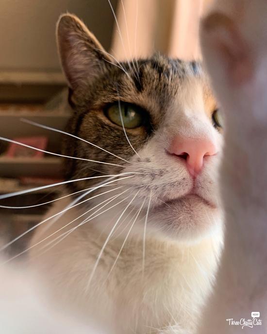 tabby cat taking selfie