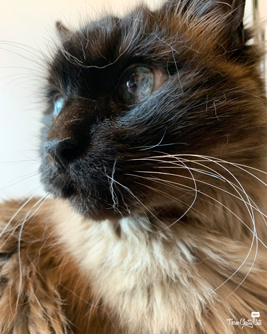 siamese cat with fur on face