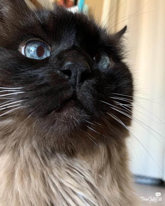 blue-eyed siamese cat