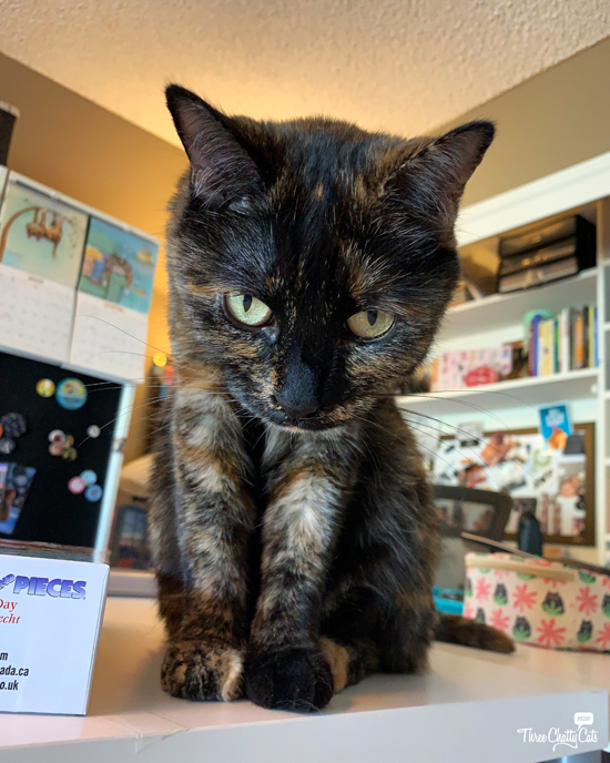tortie cat staring down