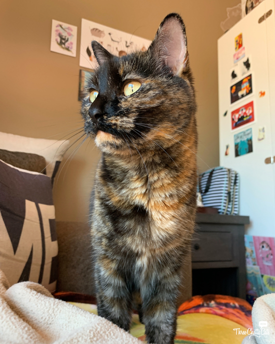 gorgeous tortie cat