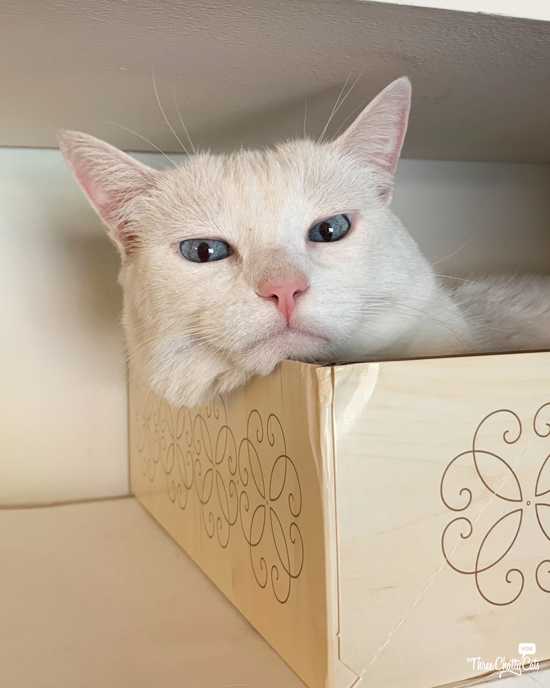 bored white cat in box