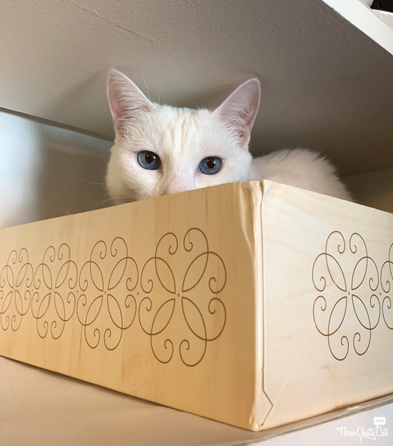 white cat with blue eyes in box