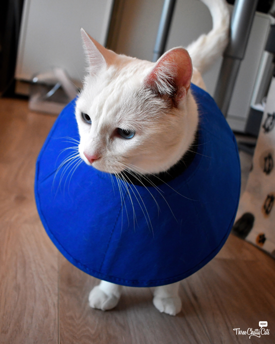 beautiful white cat in cone of shame