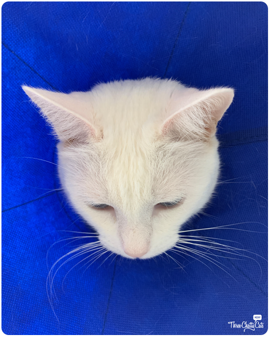 white cat in blue cone