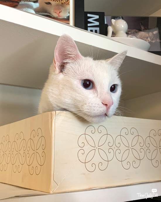 cute white cat with blue eyes in box