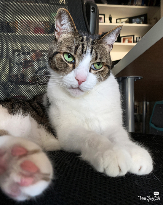 cute tabby cat in office chair