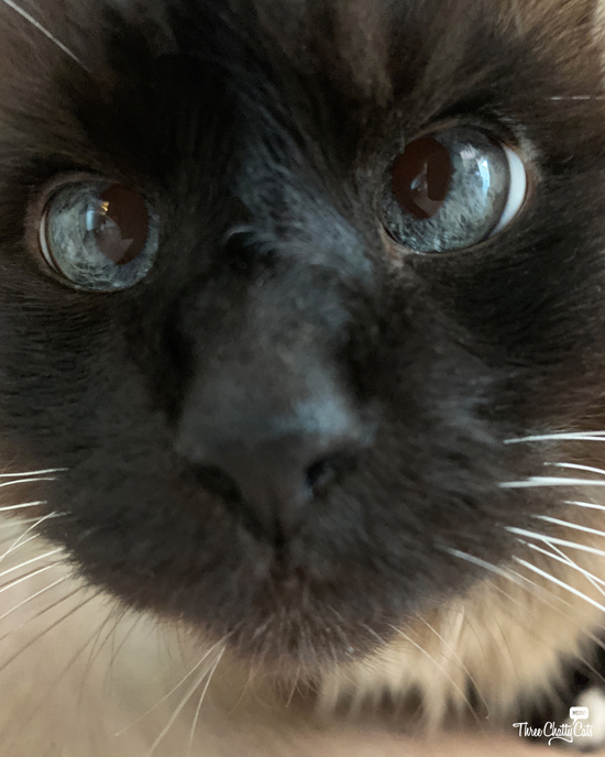 adorable close-up of siamese cat