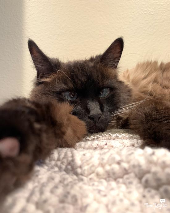 resting siamese cat