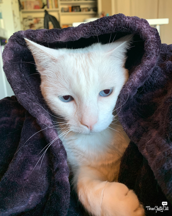 white cat with blue eyes in blanket