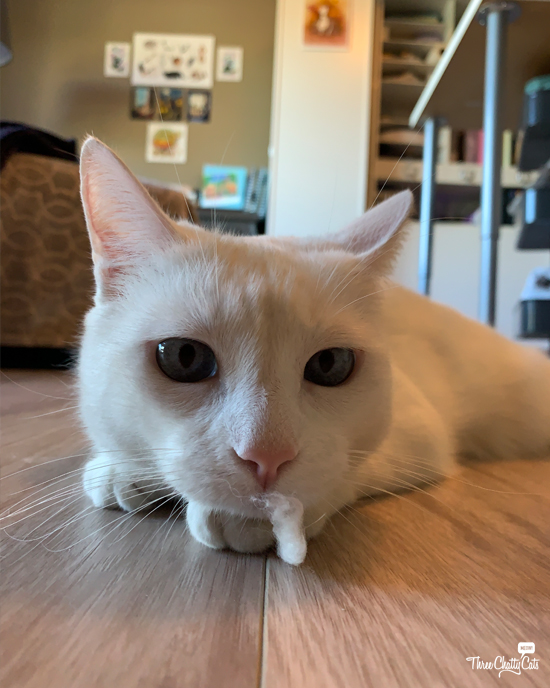 photo of white cat with q-tip fuzz