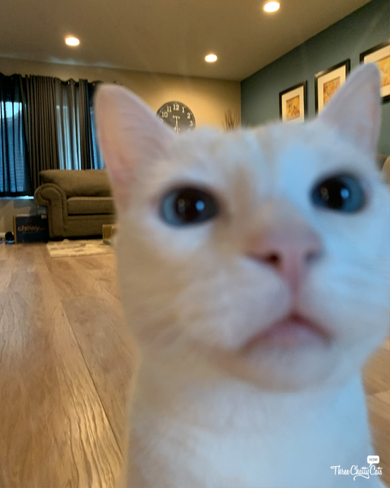 white cat attempting selfie #blooper