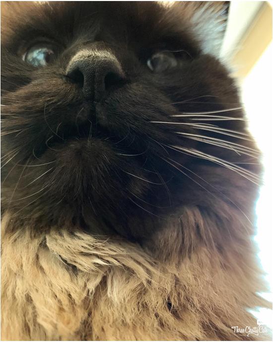 goofy close up of siamese cat