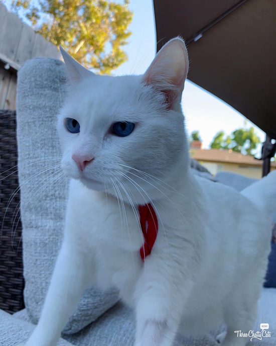 white cat in harness