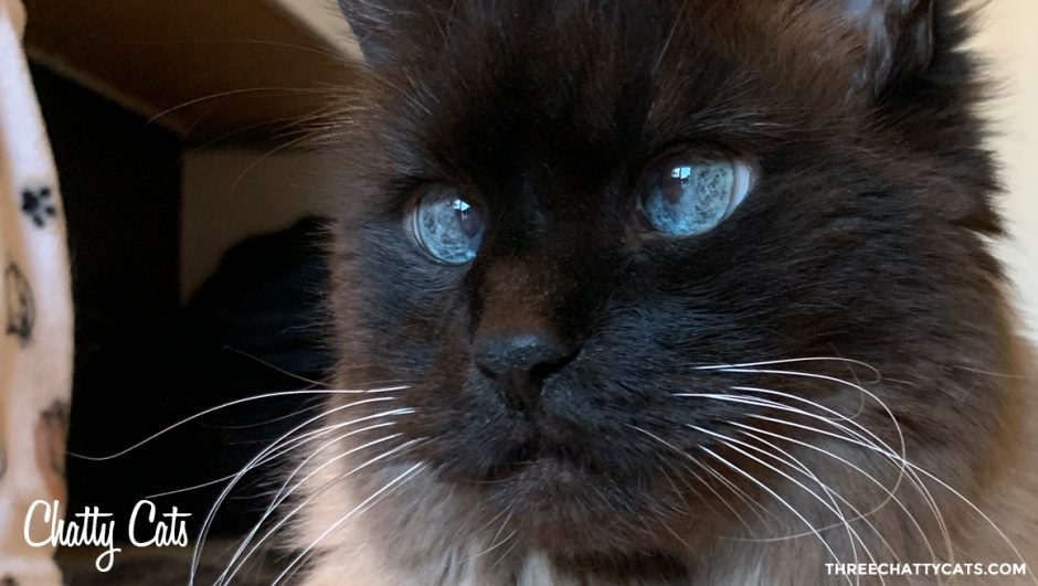 handsome siamese cat with blue eyes