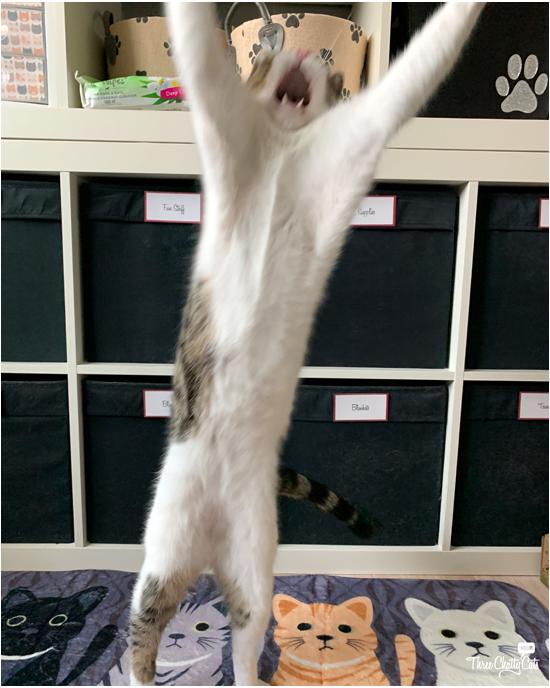 dancing tabby cat blooper
