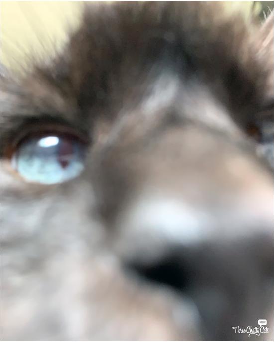 goofy siamese cat closeup