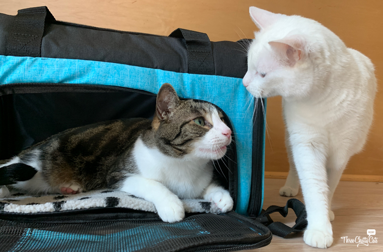 tabby cat and white cat by pet carrier