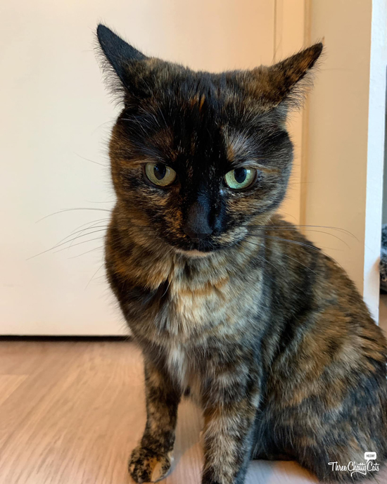 tortie cat with airplane ears