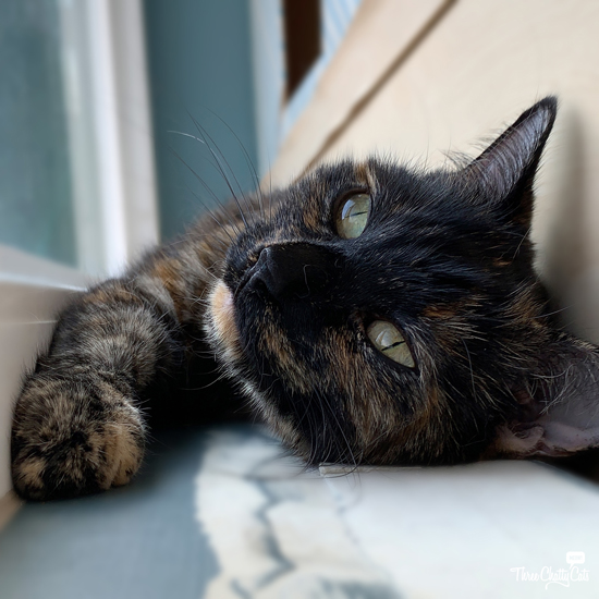 daydreaming tortie cat