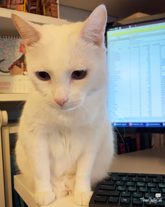 white cat in front of computer