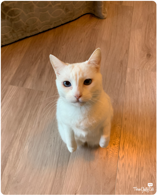white cat standing up