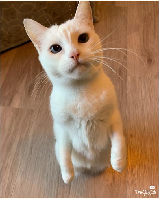 white cat standing up